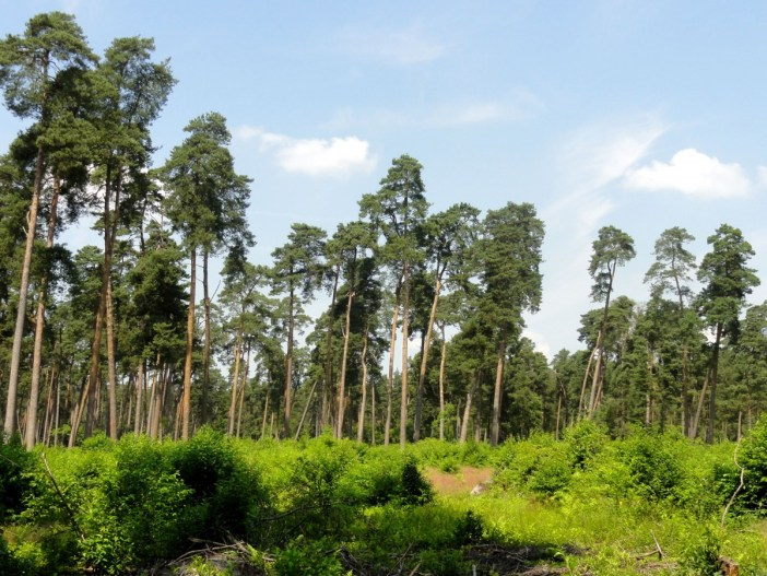 Compiègne Forest © P.poschadel - licence [CC BY-SA 3.0] from Wikimedia Commons