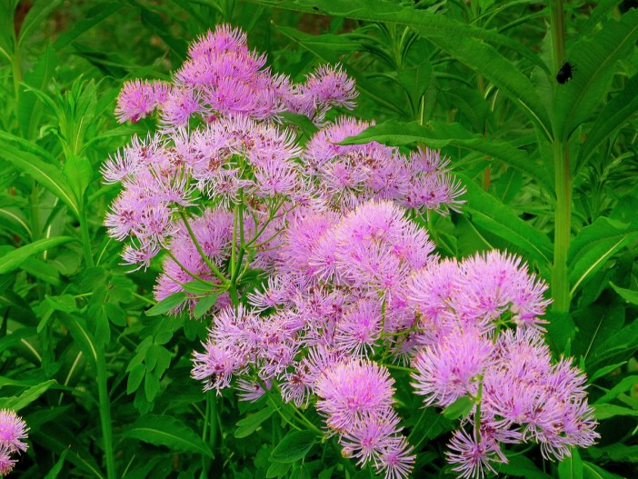 Meadow rue © French Moments