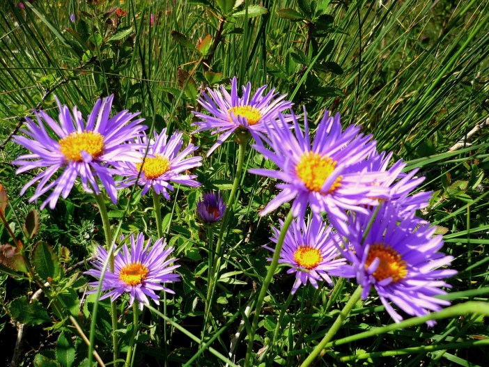 Alpine aster © French Moments