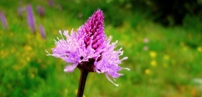 Flower of Vanoise © French Moments