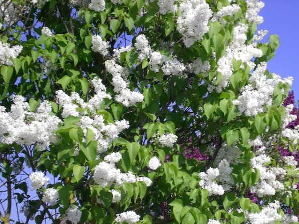 Spring flowers and flowering trees french moments this ornamental shrub has strong scented flowers of white mightylinksfo