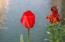 Red tulip in Annecy © French Moments