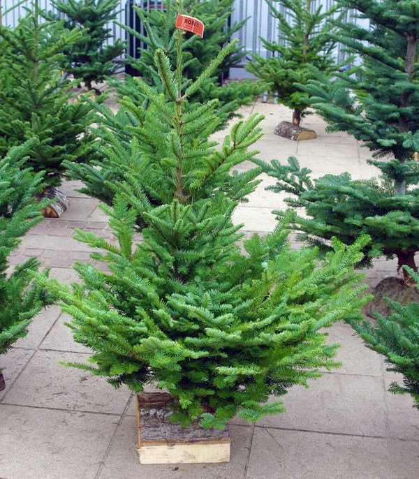 christmas tree types - Christmas Tree Types