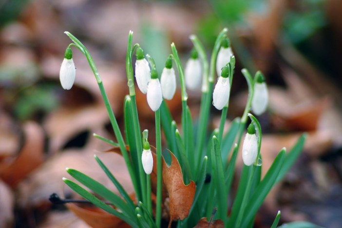 Snowdrops 02 © French Moments