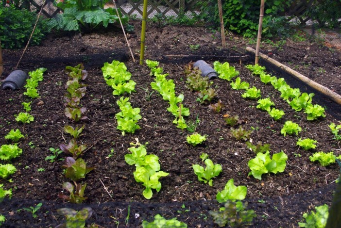 Lettuce growing at the Jardin d'Acclimatation © French Moments