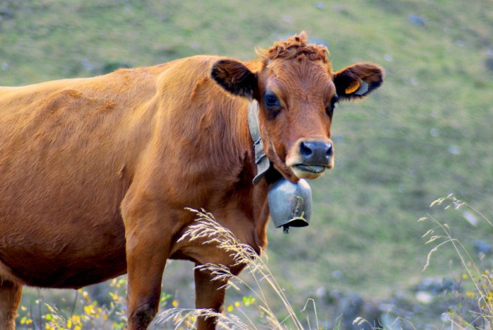 Tarine Cow © French Moments