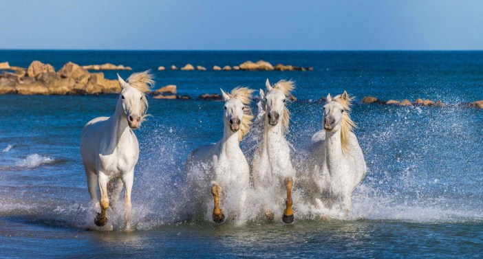The wild horses of Camargue - Stock Photos from GUDKOV ANDREY - Shutterstock