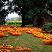 Pumpkins in Bucks County PA