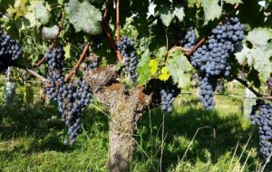 vines at Ch Fleur des Roques