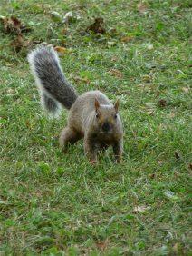 ecureuil-montreal