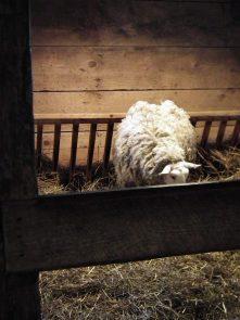 riverdale-farm-mouton