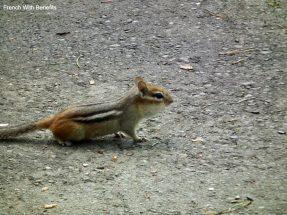 chipmunk-royal-botanical-gardens