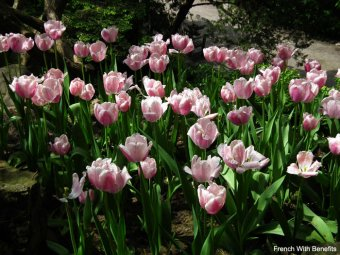 tulipes-roses-royal-botanical-gardens