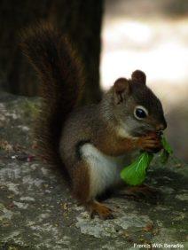 ecureuil-conservation-halton