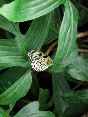 papillon-blanc-niagara-on-the-lake