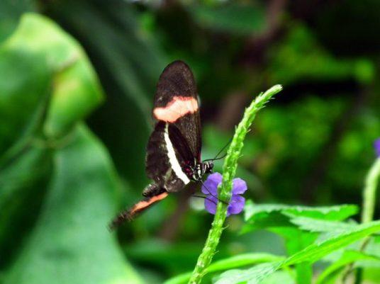 papillon-noir-niagara-on-the-lake