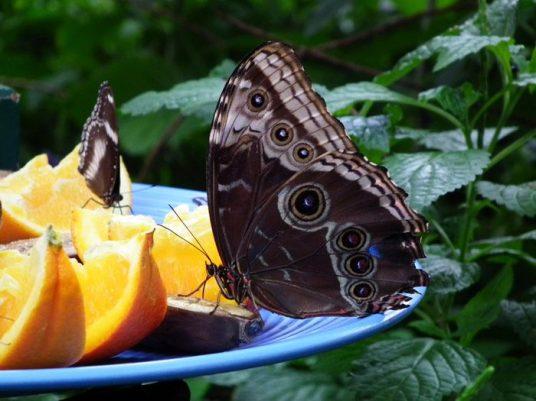 papillon-noir-oranges