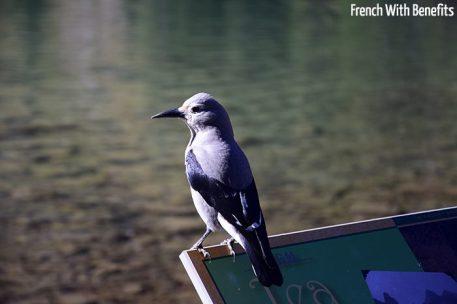 oiseau-lake-agnes