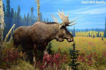 Le fameux « Moose »
