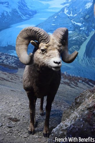 Un mouflon