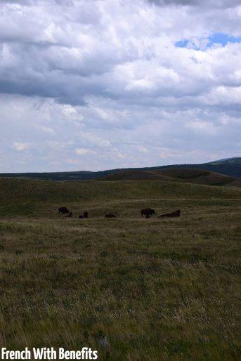 Les bisons à l'entrée du parc