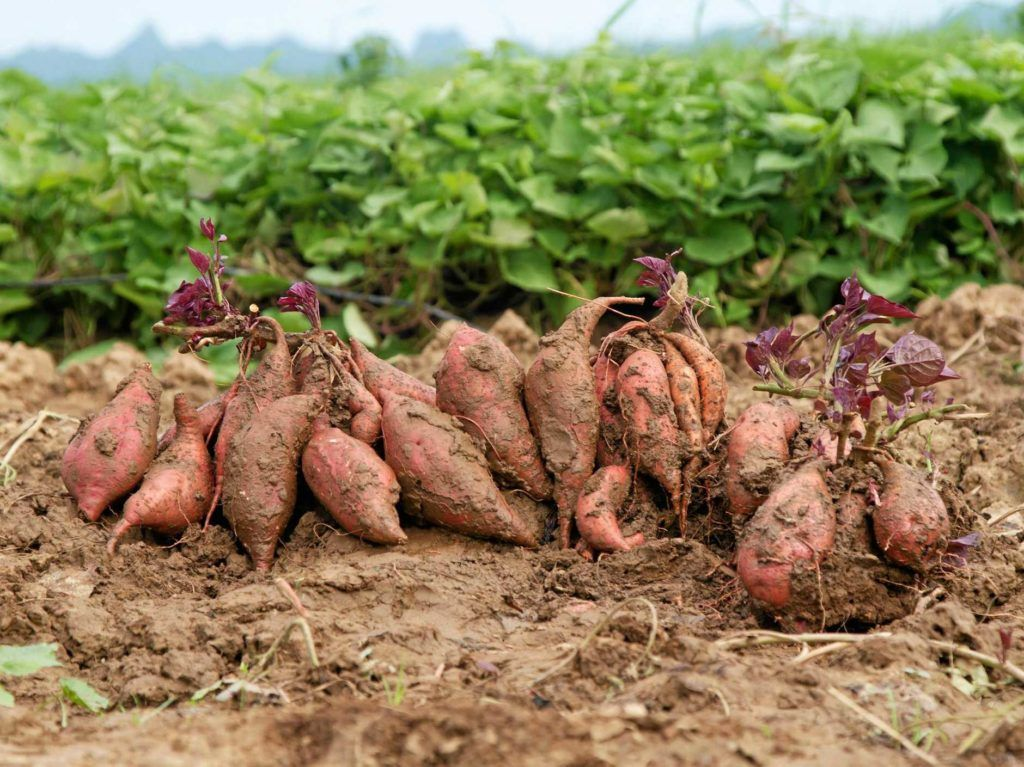 Oko Sode Kartofler 3kg Fresh Land