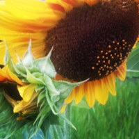 Growing Pro Cut Brilliance Sunflowers