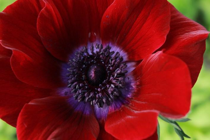 anemonesranunculusjanuary 021