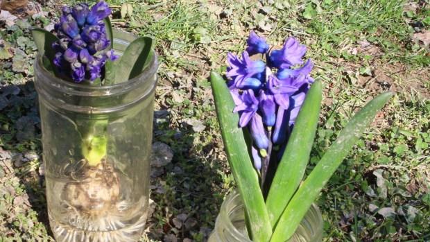 hyacinthsandotherstuff 028