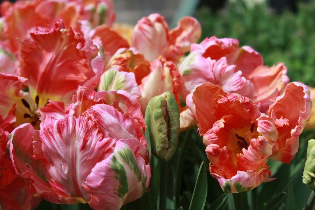 picking_tulips 046