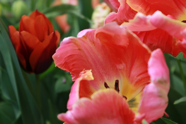 picking_tulips 048