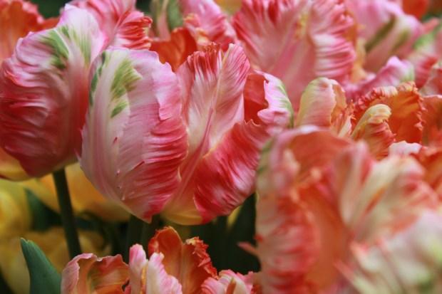 picking_tulips 051