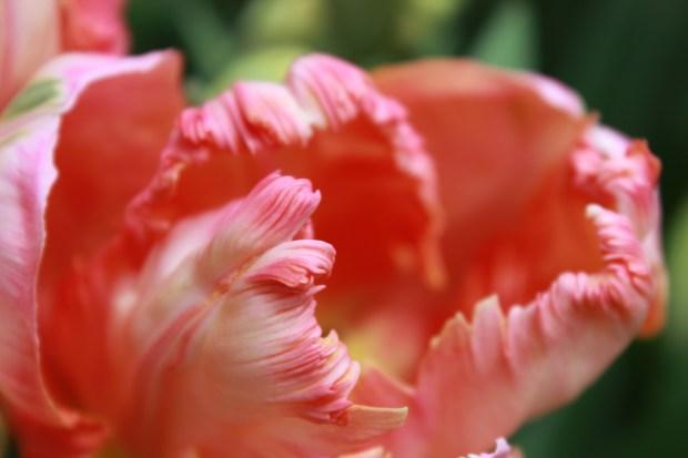 picking_tulips 053