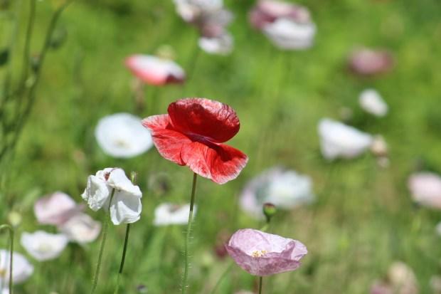 poppy 012