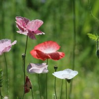 How to Grow Shirley Poppies in Zone 6b/7 - Growing Notes