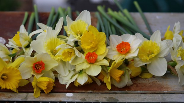 daffodils-010