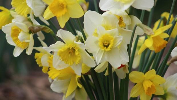 daffodils-023