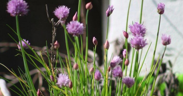 Things Are Blooming, Finally! Cut Flower Patch Update – End of April
