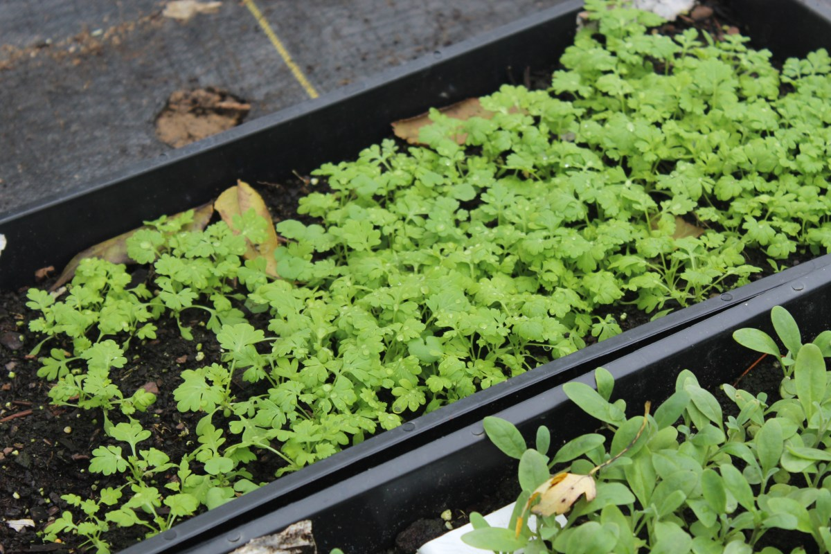 Growing Feverfew Flowers from Seed - Cut Flower Farm