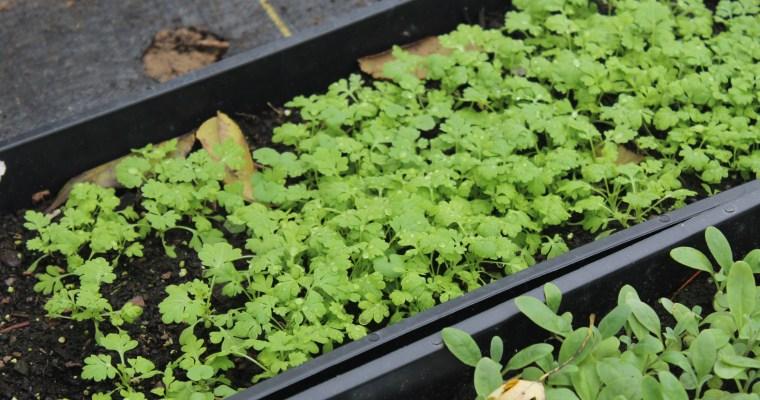 Growing Feverfew Flowers from Seed – Cut Flower Farm