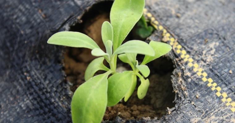 Flower Seedlings in the Hoophouse – Ready for Winter – Cut Flower Farm