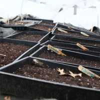 Winter Sowing Broccoli Seeds in Zone 6/7