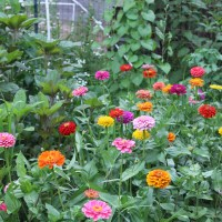 Easy to Grow Cut Flowers for First Cut Flower Garden