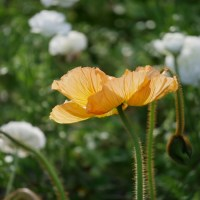Growing Icelandic Poppies for the First Time - Cut Flower Garden