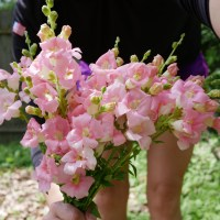 In Bloom: Light Pink Chantilly Snapdragons