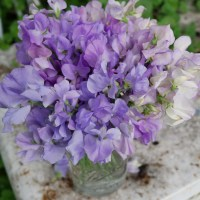 Sweet Pea and Feverfew Cut Flower Arrangement