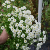 In Bloom: 'White Wonder' Feverfew - Cut Flower Garden