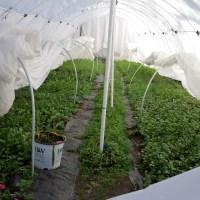 January Polytunnel Update - Cut Flower Garden
