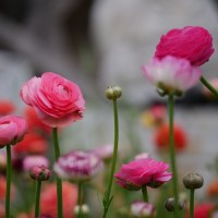 Growing Floret Ranunculus in the Little Cut Flower Garden