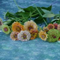 Floret's Unicorn Mix Zinnias - They're Gorgeous!